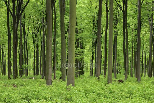 Живой зеленый лес весной. Февальд, Рейнланд-Пфальц, Германия — стоковое фото