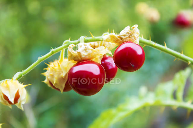 Gros plan des tomates sticky nightshade — Photo de stock