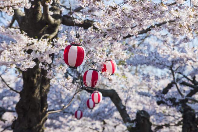 Hokkaido, Hakodate, Linterna de papel colgando en los cerezos florecientes - foto de stock