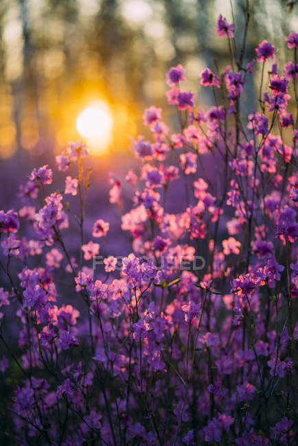 Pink wildflowers at sunset — Stock Photo