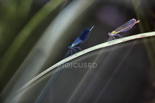 Zwei Libellen auf einem Grashalm — Stockfoto