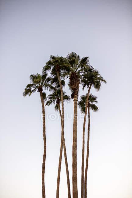 США, Калифорния, Палм-Спрингс, группа пальм под голубым небом — стоковое фото
