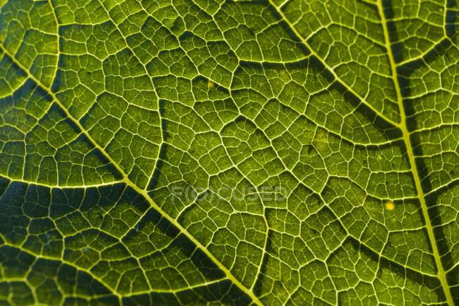 Détail d'une feuille de sarriette — Photo de stock
