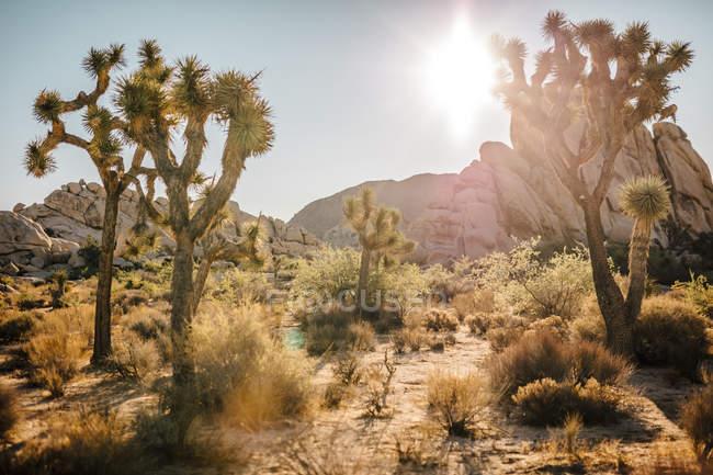 США, Каліфорнія, Лос-Анджелес, Національний парк Джошуа-Tree на сонці — стокове фото