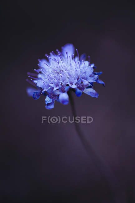 Blossom of Pigeon Scabious — Stock Photo