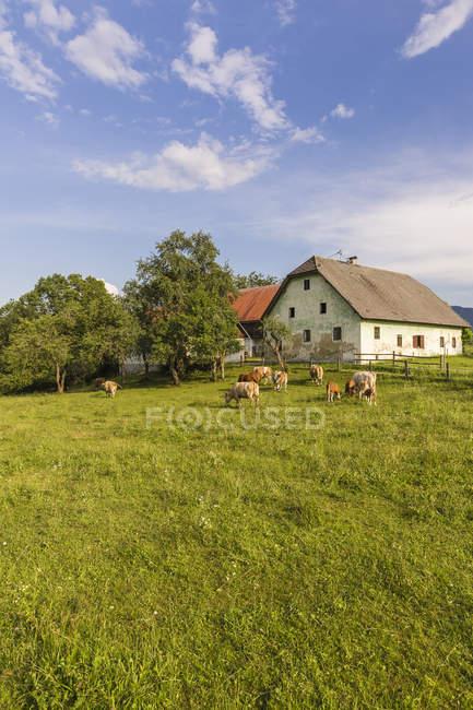 Áustria, Caríntia, antiga quinta e vacas em pastel — Fotografia de Stock