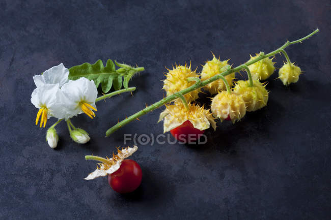 Sticky nightshade tomatoes, leaves and blossoms on dark ground — Foto stock
