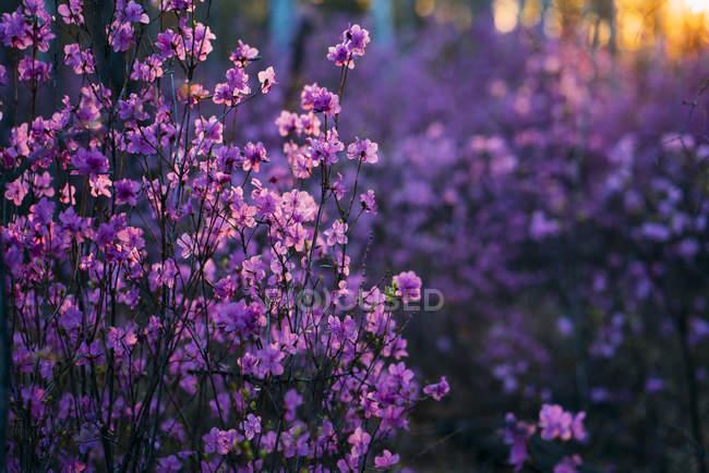 Pink wildflowers at evening twilight — стокове фото
