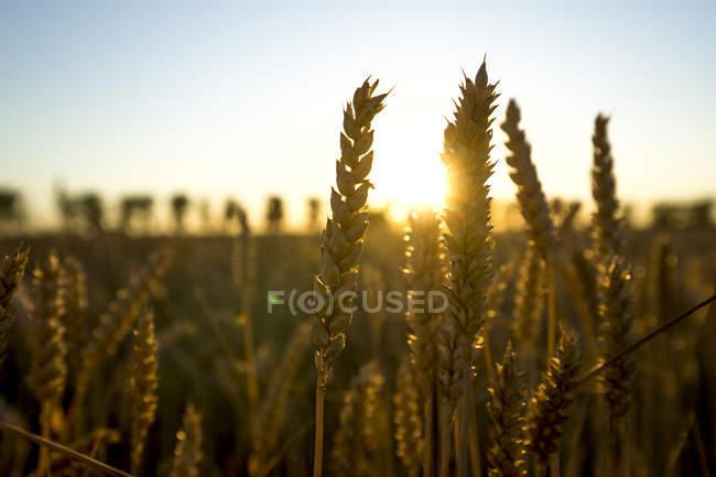 Épis de blé au coucher du soleil — Photo de stock