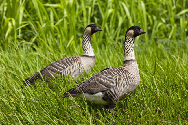 Hawaii, Kauai, Hawaiian geese, Branta sandvicensis — Stock Photo