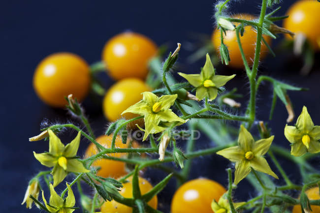 Blossoms of tomato 'Blondk?pfchen' - foto de stock