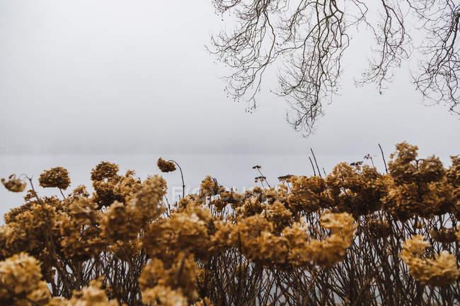 Словенія, Gorenjska, Блед, берег озера Блед з голими гілками і сухими рослинами в туманний Зимовий ранок — стокове фото