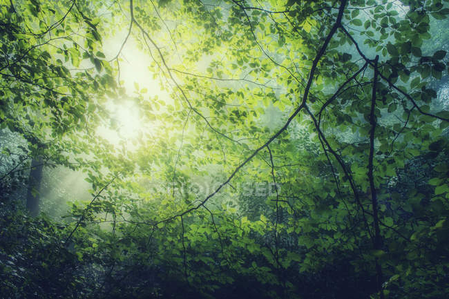 Hornbeam, Carpinus betulus, twigs with green leaves against the sun — Stock Photo