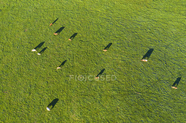 Germany, Upper Bavaria, Aerial view of cows on pasture near Muensing — Stock Photo