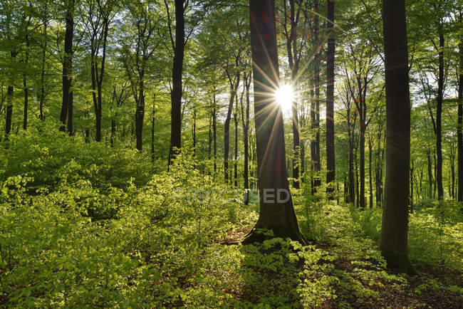 Floresta verde vital na primavera com sol e raios de sol, Westerwald, Renânia-Palatinado, Alemanha — Fotografia de Stock