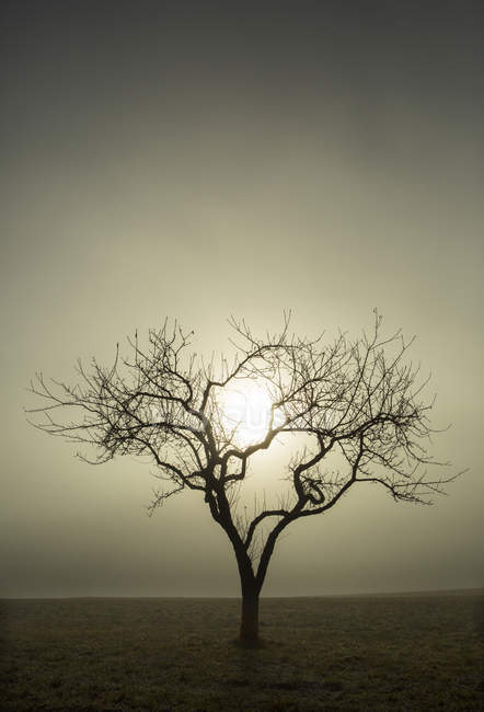 Tree without leaves against the morning sun, morning fog, autumn — Stock Photo