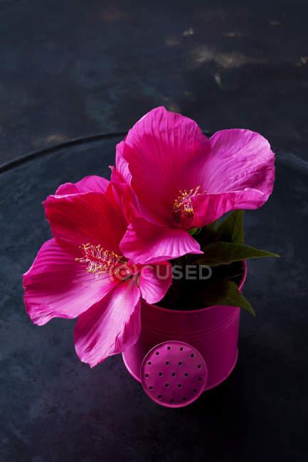 Розовый гибискус цветет в розовой небольшой полив может на темной земле — стоковое фото