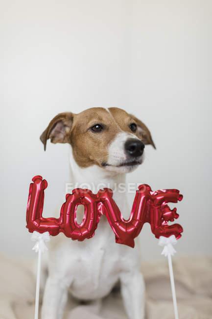 Perro en la cama con globo de papel de aluminio del amor - foto de stock