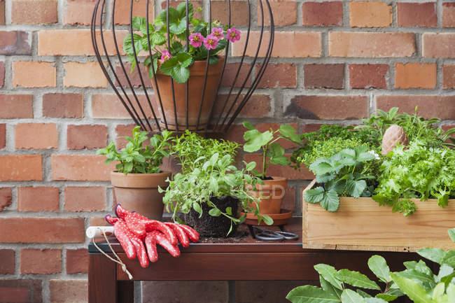 Varie piante di spezie in vaso in terrazza — Foto stock