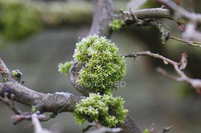 Hoarfrost no musgo que cresce na filial — Fotografia de Stock