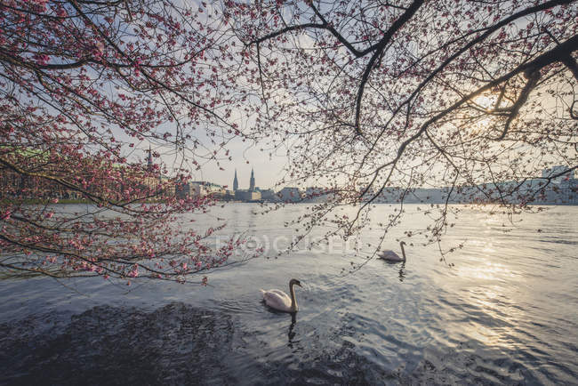 Germany, Hamburg, Germany, Hamburg, blossoming cherry trees at Binnenalster, swimming mute swans — Stock Photo