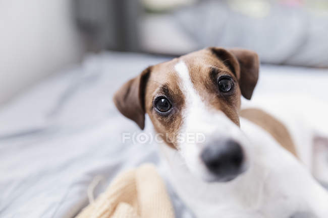 Portrait de Jack Russel Terrier — Photo de stock