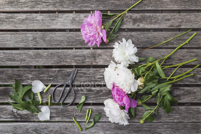 Pink and white Peonies and scissors on garden table — Stock Photo