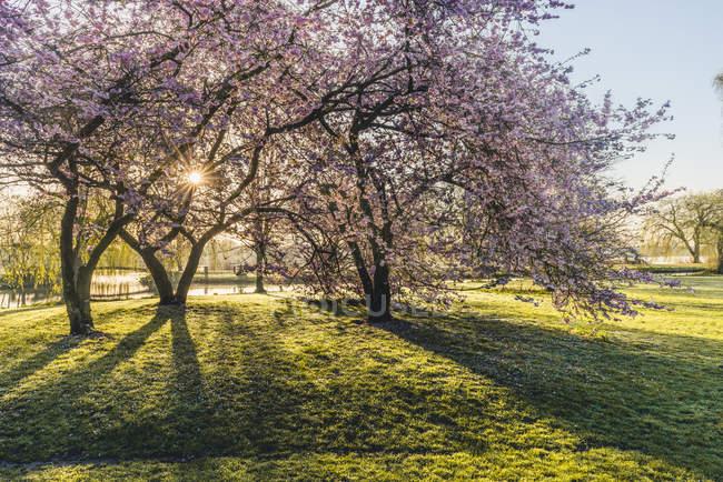 Німеччина, Гамбург, Альстерпарк, квітучі вишневі дерева — стокове фото
