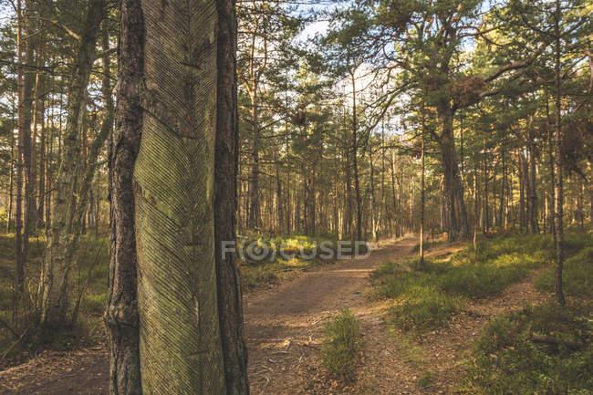 Германия, Мекленбург-Западная Померания, Дарсс, лесная тропа и сосны с разрезом для нанесения смолы — стоковое фото