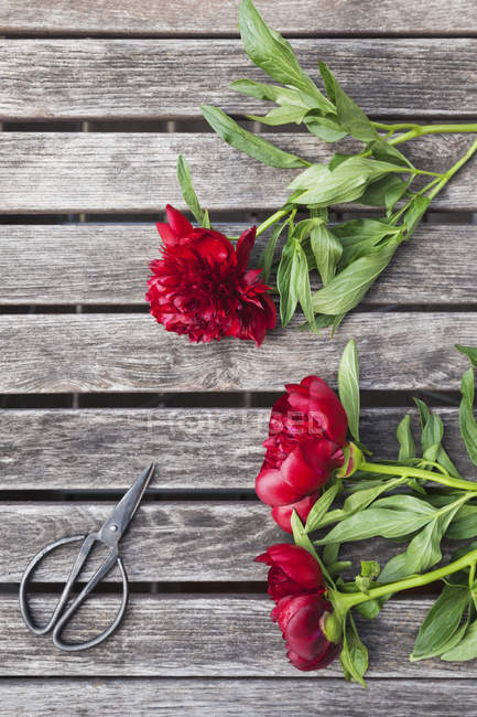 Peonies e tesouras vermelhos na tabela do jardim — Fotografia de Stock