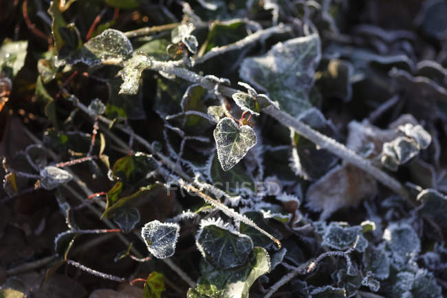 Hoarfrost on ivy leaves, cold weather — Stock Photo