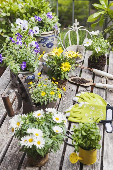 Різні літні квіти та садові інструменти на городовому столі. — стокове фото