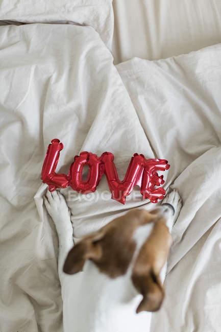 Chien sur le lit avec ballon d'amour, d'en haut — Photo de stock
