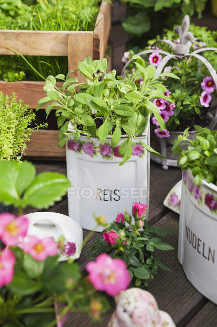 Sage and other herbs planted in vintage storage pots, close up — Stock Photo