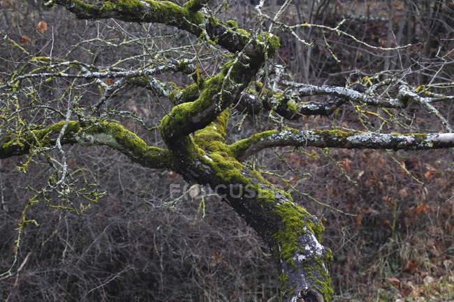 Германия, дерево, ветви, выращенные мхом зимой — стоковое фото