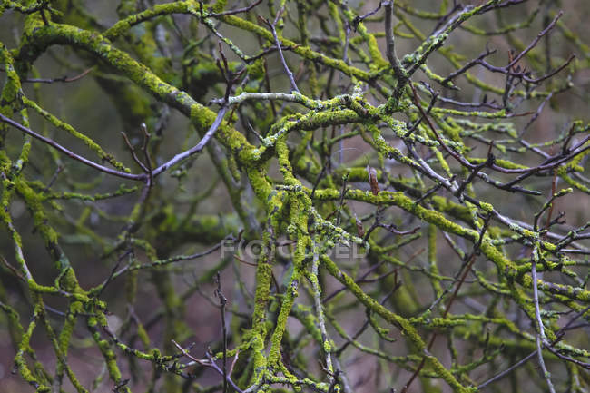 Germany, branches, moss-grown in winter — Foto stock