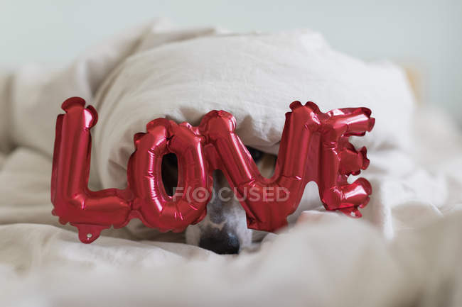 Dog on bed with love foil balloon, under blanket — Stock Photo