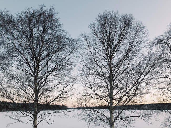 Sweden, Lulea, Two Trees at Winter Daybreak — Stock Photo