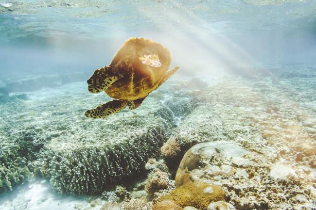 Австралия, Квинсленд, Большой Барьерный риф, Зеленая черепаха — стоковое фото