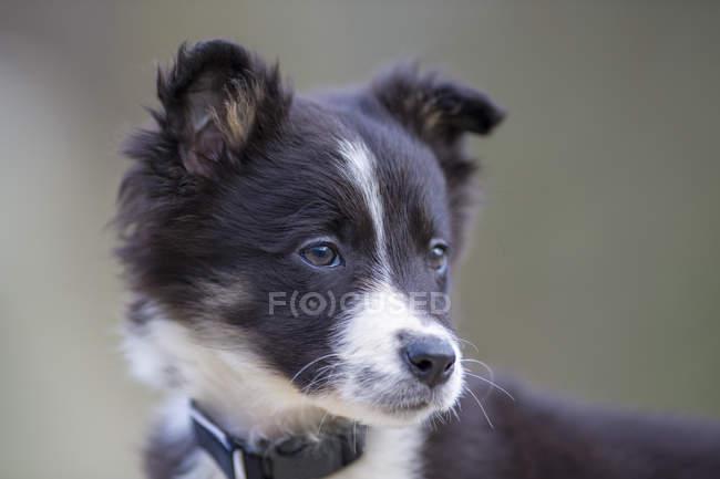 Ritratto di Border Collie cucciolo — Foto stock