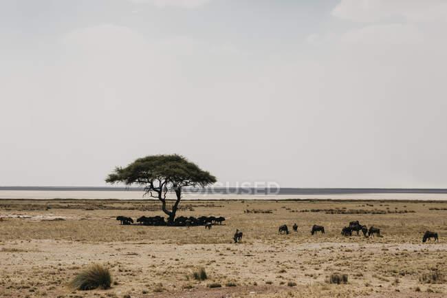 Нобия, национальный парк Этоша, нас под деревом — стоковое фото