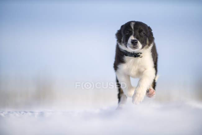 Border Collie chiot courir sur la neige — Photo de stock