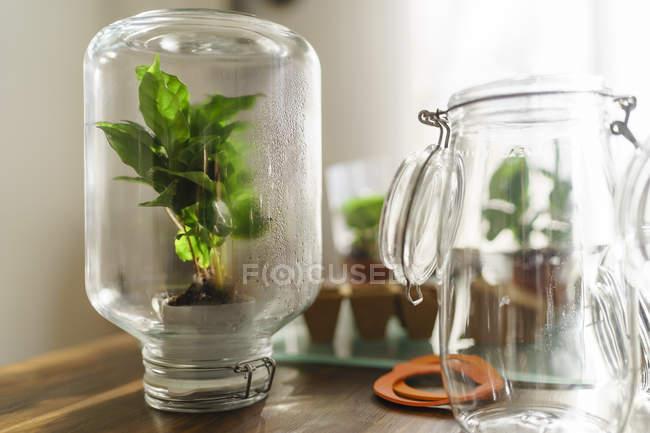 Coffee plant inside preserving jar — Stock Photo