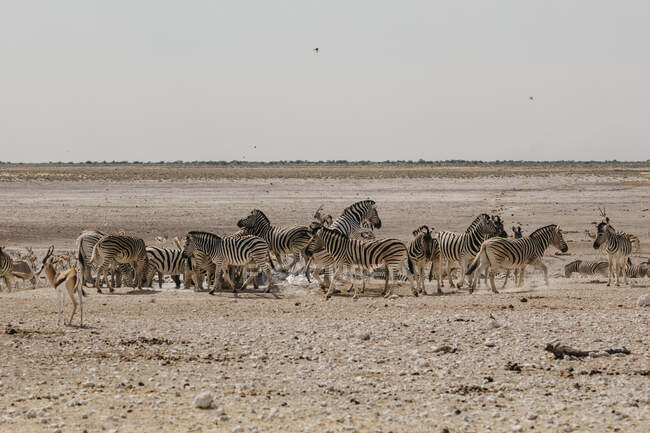 Namibia, Etosha National Park, Herd of zebras — Stock Photo