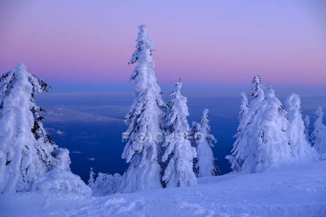 Germany, Bavaria, Bavarian Forest in winter, Great Arber, Arbermandl, snow-capped spruces at sunset — Stock Photo