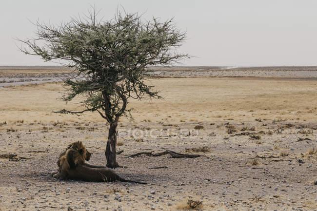 Намибия, Национальный парк Этоша, Лев отдыхает под деревом — стоковое фото