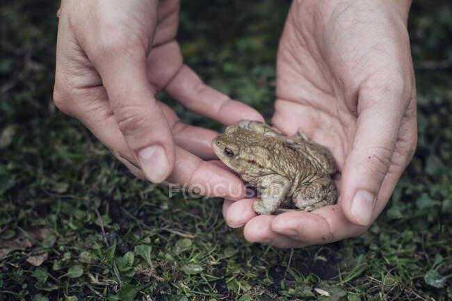 Самка тримає європейську ропуху в руках. — стокове фото