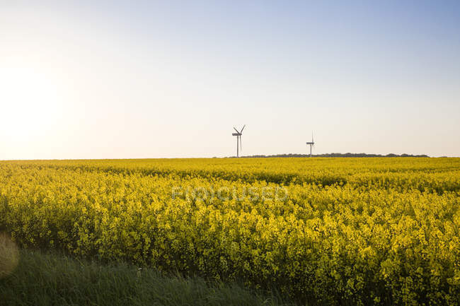 Germany, Ruegen, Cape Arkona, wind wheels at rape field — Stock Photo