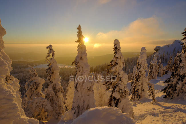 Німеччина, Баварія, Баварський ліс взимку, великий Арбер, Arbermandl, засніжені спруси на заході сонця — стокове фото
