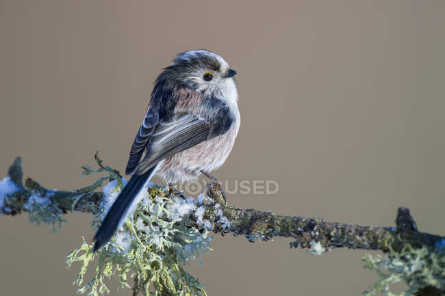 Long-tailed Tit on hoarfrosted  twig — стоковое фото